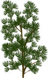 Grünpflanze mit den needleses lokalisiert auf Weiß Stockbild