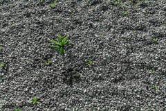 Grünpflanze treibt über grauem kleinem Steinhintergrund Blätter Lizenzfreies Stockbild