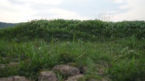 Grünpflanzebewegung mit Wind stock video footage