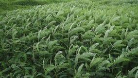 Grünpflanzebewegung mit Wind stock video