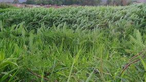 Grünpflanzebewegung mit Wind stock footage