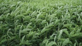 Grünpflanzebewegung mit Wind (Handschuß) stock video