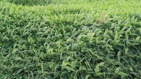 Grünpflanzebewegung mit Wind (Handschuß) stock video footage