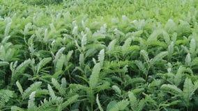 Grünpflanzebewegung mit Wind (Handschuß) stock footage
