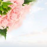 Gräns av färgrika hibiskusblommor Arkivbilder