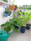 Grönsaker på balkongen Arkivbilder