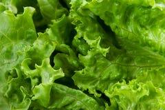 grönsallat Royaltyfria Foton