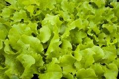grönsallat Arkivbild