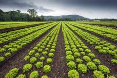 Grönsallatfält Royaltyfri Fotografi