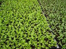 grönsallatplantor Royaltyfria Foton