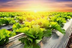 Grönsallatväxt på fältgrönsaken och jordbruksolnedgång och ligh Royaltyfri Foto