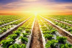 Grönsallatväxt på fältgrönsaken och jordbruksolnedgång och ligh Arkivfoton