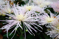 Gränsen - rosa krysantemum Royaltyfria Bilder