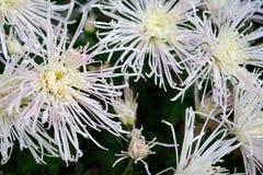 Gränsen - rosa krysantemum Royaltyfria Foton