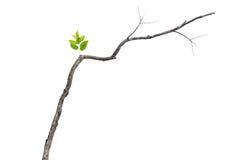 Grönt blad för singel på den torra filialen som isoleras på vit Royaltyfria Foton