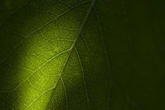 Grönt blad som bakgrund Royaltyfri Fotografi