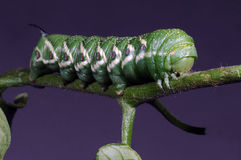 grönt horned för caterpillar Royaltyfria Foton