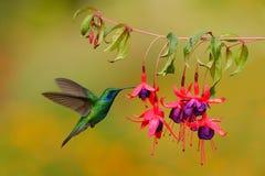 Grönt kolibrigräsplanViolett-öra, Colibri thalassinus och att flyga bredvid den härliga rosa färg- och violetblomman, Savegre, Co Arkivfoton