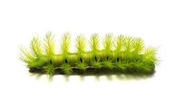 grönt läskigt för caterpillar Royaltyfria Bilder