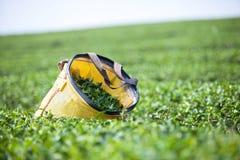 Grönt te Fotografering för Bildbyråer