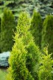 Grönt thujaträd i vår Arkivbild