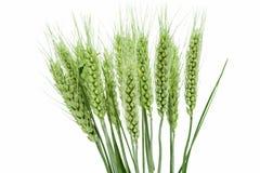 grönt vete för öron Royaltyfri Bild