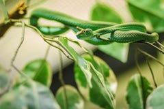 Groß-äugige grüne Spezies Pitviper (Trimeresurus-macrops) endemisch Lizenzfreies Stockbild