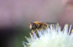Groß-äugiges Insekt Lizenzfreie Stockfotos