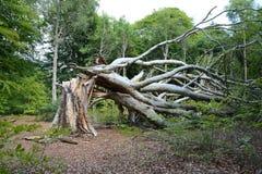 Groß, alt, spaltete sich Buchenbaum in zwei Teilen durch einen sping Sturm auf und zeigte Umweltschädigung Stockbilder