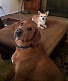 Groß gegen kleine Hunde stockfoto