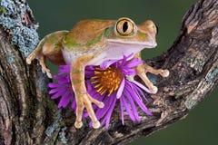 Groß-gemusterter Baumfrosch mit Aster Stockfotografie