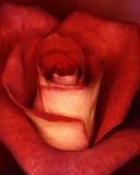 Großartige Rose Lizenzfreie Stockbilder
