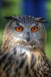 Großartiger Abschluss oben der europäischen Adler-Eule Stockfotografie