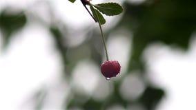 Großaufnahme auf den reifen roten Kirschen, die auf dem Wind nach Regen rütteln stock video
