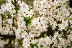 Großaufnahme auf einem Zweig mit Blumen und Blättern des blühenden Baums im Garten Stockfotografie