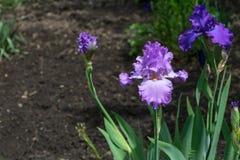 Großaufnahme der lila Irisblume auf Hintergrund von grünen Blättern Stockbild