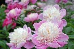 Großaufnahme der schönen empfindlichen weißen und purpurroten Blume im Grün graden lizenzfreie stockfotografie