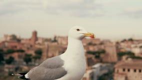 Großaufnahme der weißen kleinen Seemöwe, die herum schaut Vor dem hintergrund der alten Stadtdächer Stockfotos