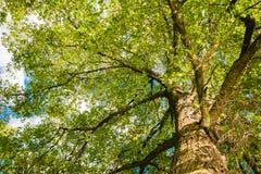 Großaufnahme des alten und großen Baums Stockfotografie