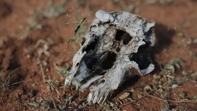 Großaufnahme des Tierschädels in der Wüste in Afrika stock footage