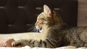 Großaufnahme einer Frau ` s Hand, die mit der Katze Innen spielt stock video footage