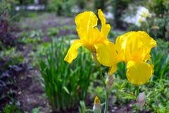 Großaufnahme einer Irisblume auf Hintergrund des Grüns verlässt Stockfotografie