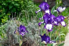 Großaufnahme einer Irisblume auf Hintergrund des Grüns verlässt Lizenzfreie Stockfotografie