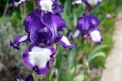 Großaufnahme einer Irisblume auf Hintergrund des Grüns verlässt Lizenzfreies Stockbild