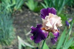 Großaufnahme einer Irisblume auf Hintergrund des Grüns verlässt Stockfotos