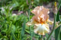 Großaufnahme einer Irisblume auf Hintergrund des Grüns verlässt Lizenzfreies Stockfoto