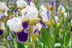 Großaufnahme einer Irisblume auf Hintergrund des Grüns verlässt Stockbilder