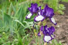 Großaufnahme einer Irisblume auf Hintergrund des Grüns verlässt Lizenzfreie Stockbilder