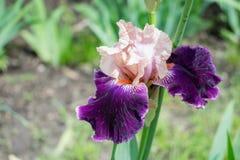 Großaufnahme einer Irisblume auf Hintergrund des Grüns verlässt Stockfoto