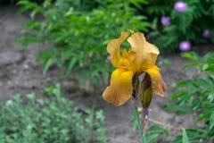 Großaufnahme eines Gelbs, braune Irisblume auf Hintergrund von g Stockfoto